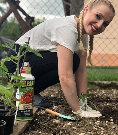 Sajenje paradižnika na vrtu in organsko gnojilo