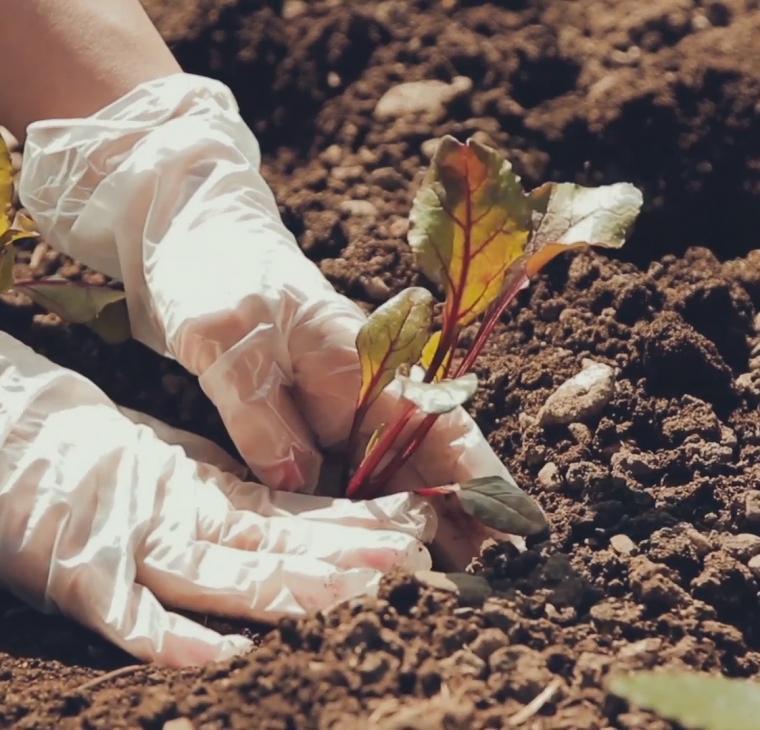 Vrtičkanje – sajenje sadik